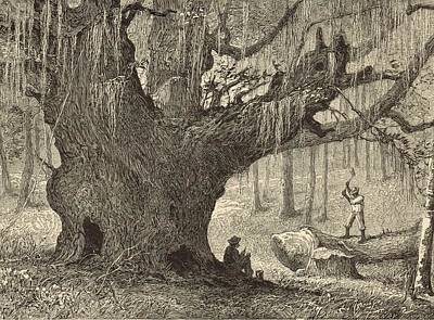 Lumberman Painting - A Live-oak On The Ashley by Antique Engravings
