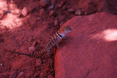 Collared Lizard Photograph - A Lizard Gazes From A Rock by Jeff Swan