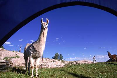 Llama Photograph - A Llama Tied Up Near A Tent, Wyoming by Beth Wald