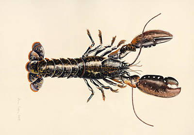 Lobster Drawing - A Lobster From Solva by Alison Cooper