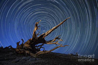 A Lone Bristlecone Pine In The White Art Print by Dan Barr