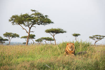 Photograph - A Lonely Male Lion In The Masai Mara by Seppfriedhuber