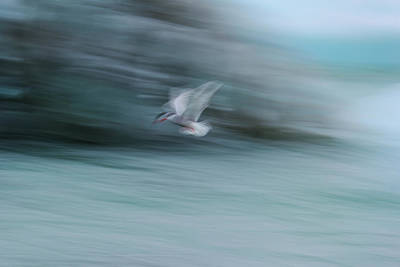 Photograph - A Long Exposure Of An Arctic Tern by Keith Ladzinski