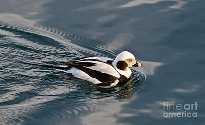 Photograph - A Long Tailed Duck Leaving A Wake Behind Him by Gerda Grice