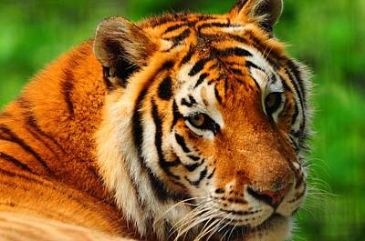 A Look From A Tiger Art Print by Valarie Davis