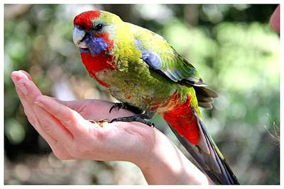 Photograph - A Lorikeet In Hand by Frank Wickham