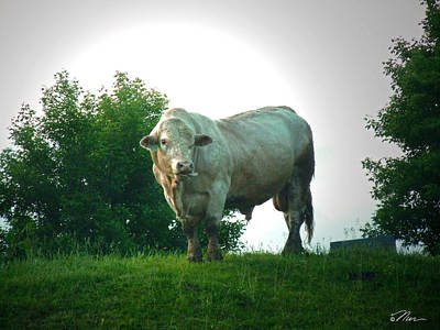 Photograph - A Lot Of Bull by Nancy Griswold