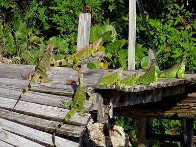Photograph - A Lounge Of Iguanas by Keith Stokes