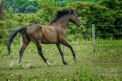Animal Portraits - A majestic Stallion Horse running in a Pasture by Michael Shake