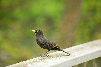 Yellow Beak Photograph - A Male Blackbird by Ashley Cooper