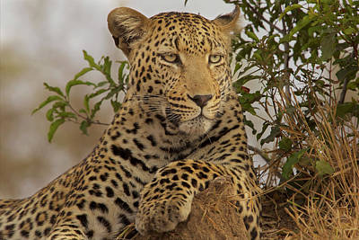 A Male Leopard Sits On Top Of A Termite Art Print