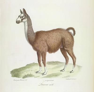 A Male Llama Art Print