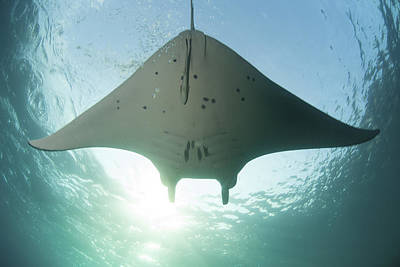 Batoidea Photograph - A Manta Ray Swims Into The Sun by Ethan Daniels