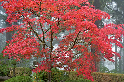 Sutton Photograph - A Maple Tree In Fall Color by William Sutton