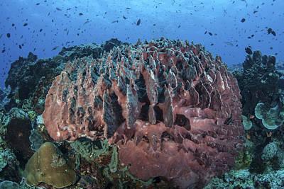 A Massive Barrel Sponge Grows Art Print by Ethan Daniels