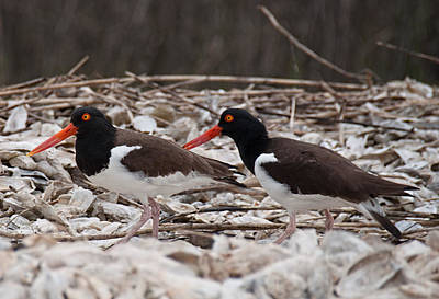 Photograph - A Mated Pair Of Oyster Catchers by John Black