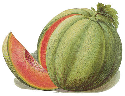 Watermelon Drawing - A Melon With A Slice Cut Out by Mary Evans Picture Library