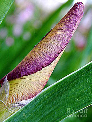 Photograph - Iris Metamorphosis Of Spring Equinox In New Orleans Louisiana by Michael Hoard