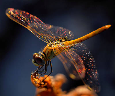 Macro Dragonfly Photograph - A Midsummer Night's Dream... by Thierry Dufour