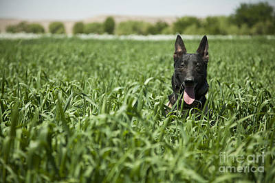 Photograph - A Military Working Dog Sits In A Field by Stocktrek Images