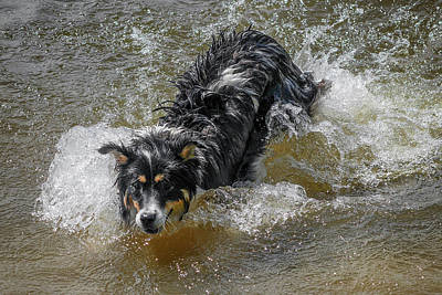 A Mixed Breed Dog Splashes In A Lake Art Print