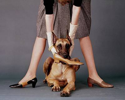 Great Dane Photograph - A Model With A Dog Holding A Shoe In Its Mouth by John Rawlings