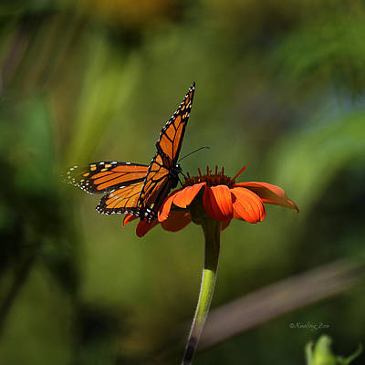 Photograph - A Monarch Butterfly 4 by Xueling Zou