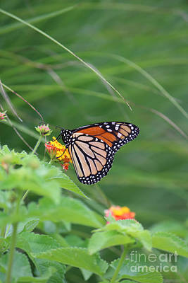 Photograph - A Monarch Butterfly At Rest by Jackie Farnsworth