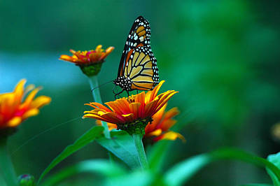 Photograph - A Monarch by Raymond Salani III