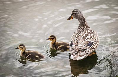 Mallard Ducklings Photograph - A Mother Mallard Guards Her Ducklings by Robert L. Potts