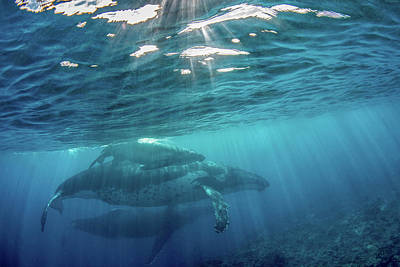 Photograph - A Mother Whale And Her Calf by Brook Peterson