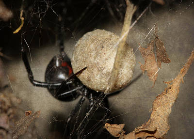 Black Widow Spider Photograph - A Mothers Den by Melanie Lankford Photography