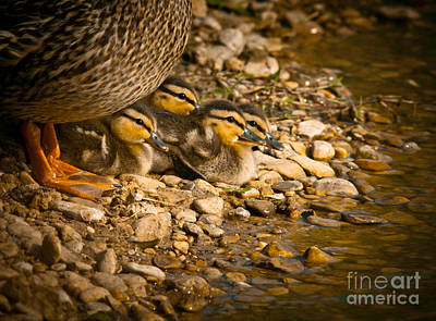 Baby Mallards Photograph - A Mother's Love by Robert Frederick