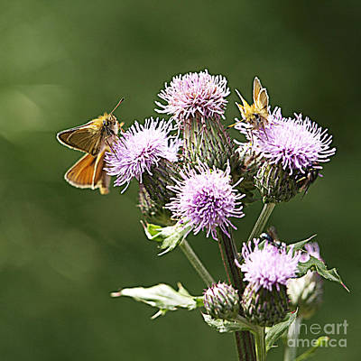 Photograph - A Moth's Feast by Arizona  Lowe