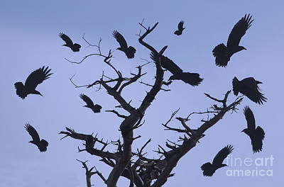 Flock Of Bird Photograph - A Murder Of Crows by Bob Christopher