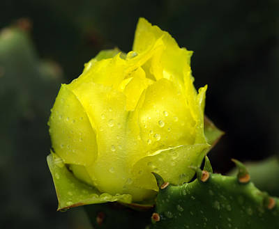 Yellow Cactus Flower Photograph - A New Beginning by Bill Morgenstern
