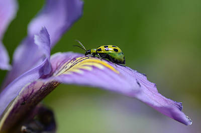 Cucumber Beetle Photograph - A New Direction 2 by Fraida Gutovich