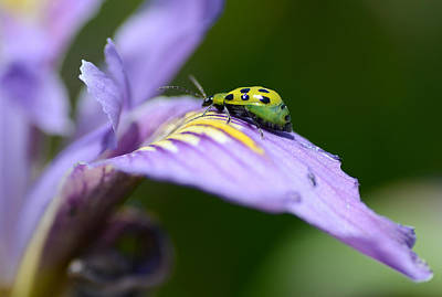 Cucumber Beetle Photograph - A New Direction by Fraida Gutovich