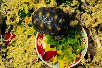 A New Home For A Juvenile Red Footed Tortoise Original by Sandra Pena de Ortiz