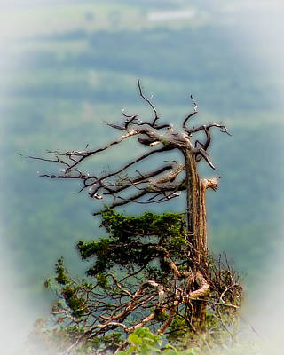 A Once Magnificent Tree Art Print by Jim Finch
