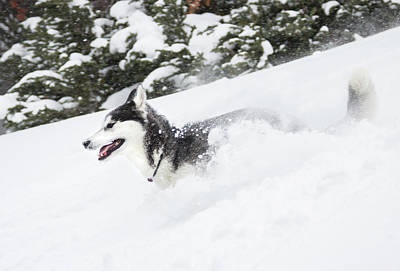 Siberian Husky Photograph - A One Year Old Siberian†husky Runs by Craig Moore