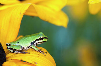 A Pacific Tree Frog  Pseudacris Regilla Art Print by Robert L. Potts