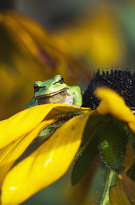 A Pacific Treefrog Looks For Flies Art Print by Robert L. Potts