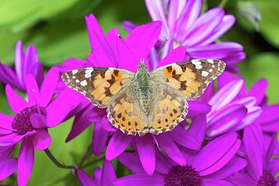 Painted Lady Photograph - A Painted Lady Butterfly by Ashley Cooper