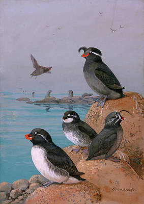 Auklets Wall Art - Photograph - A Painting Of Four Different Species by Allan Brooks