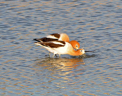 Photograph - A Pair Of American Avocets by Lula Adams
