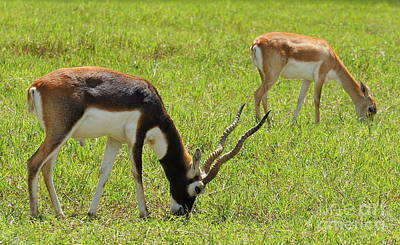 Photograph - A Pair Of Blackbucks by Rachel Munoz Striggow
