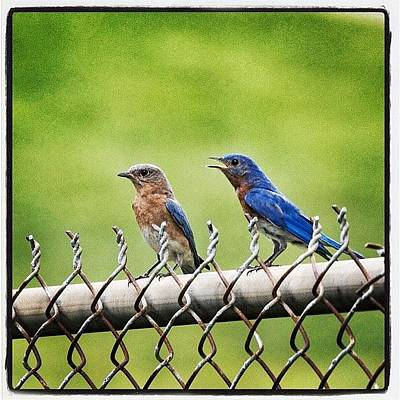 Animals Photograph - Nesting Bluebirds by Heidi Hermes