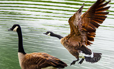 A Pair Of Canada Geese Landing On Rockland Lake Art Print by Jerry Cowart
