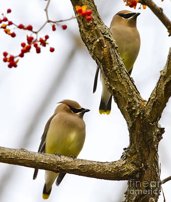 Art Print featuring the photograph A Pair Of Cedar Waxwings by Ricky L Jones